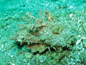 devilfish spiny
