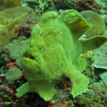 frogfish giant