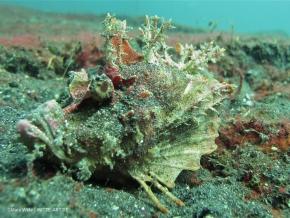 devilfish spiny-2