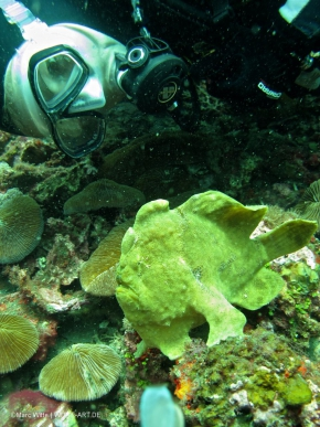 frogfish giant-2
