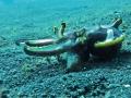 cuttlefish flambion-2